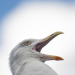 "Yawning seagull • <a style=""font-size:0.8em;"" href=""http://www.flickr.com/photos/28211982@N07/28411554084/"" target=""_blank"">View on Flickr</a>"