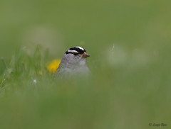 White Crowned Sparrow (Islander_16) Tags: whitecrownedsparrow nature wildlife wild bird song canon