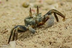 Outdoors (Osama M.) Tags: outdoor nikon d5200 crab sand