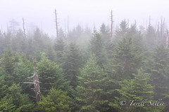 Pine trees & Mist, Clingmans Dome. August 2016 (tarell_sallie) Tags: tennessee northcarolina gatlinburg cherokee state smoky smokymountains greatsmokymountainsnationalpark nationalpark us usnationalparks artisitc artsy mist clouds fog landscape mountains unitedstates america usa canon canont3i copyright lightroom august 2016 travel great nice breathtaking beautiful trees pinetrees pinetree forest forrest woods paradise shoot2kill shoottokill morning afternoon vacation trip rural south thesouth creative