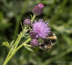 Bee on a Thistle (Turk Images) Tags: bee elkislandnationalpark alberta insects pollinator summer
