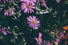 Mum's Garden 4 (katarzynaadamczyk) Tags: flower garden spring vintage canon canon550d sigma sigma1750 colours
