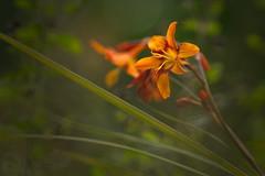 Daylily (Hemerocallis) (Stefan Zwi.) Tags: daylily lily lilie orangerot bokeh dof samyang 135mm sony a7 ilce7