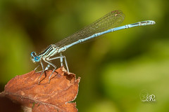 Agrion  larges pattes - Platycnemis pennipes (Domaine Des Oiseaux, Arige) 21 aout 2016 (Christophe.R.) Tags: agrionlargespattes agrionlargespattesplatycnemispennipes canon ddo domainedesoiseaux france ladddo libellule macro mazres midipyrenes platycnemididae platycnemis platycnemispennipes printemps zygopteres dragonfly odonate wwwlesamisdudomainedesoiseauxfr 80 100mm 1500 400iso