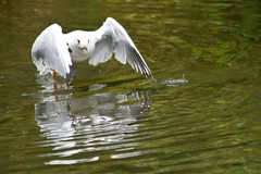 Take Off (Jon Pinder) Tags: canon eos7d 70300mm bird flight wings feathers water