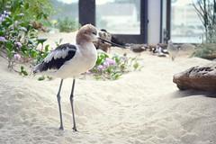 American avocet - Monterey Bay Aquarium (Helene Iracane) Tags: fauna usa california bird birds monterey aquarium feather feathers american avocet sand sable californie
