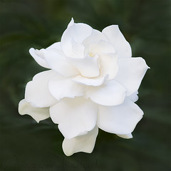 Simply White (KvonK) Tags: gardenia white flower summer 2016 kvonk squarecrop fragrant ringlight