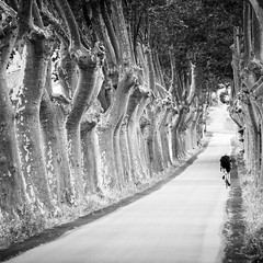 lonesome rider (Rainer ) Tags: radfahrer cyclist cycliste allee platanen sycamores routedelabastide escales languedocroussillon sdfrankreich sommer2016 sw bw bn rainer