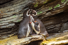 Love Pinguini - Oceanario Lisbona (antoniosimula) Tags: oceanario lisbon lisbona lisboa portogallo portugal area expo fish flora fauna nikon d3200 35mm 70300 tamaron ocean species pacific atlantic indian