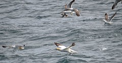 Birds at Sea - Wasservgel (SoniaShari) Tags: d island wasser water eau vgel vogel bird oiseau seagull puffin mve tlpel papageientaucher meer mar ocean