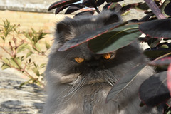Zorro ? Non, c'est Tichat ! (Annelise LE BIAN) Tags: animal chat tichat zorro masque explore sunshine coth alittlebeauty
