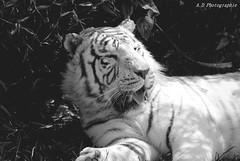 (madyfotografy) Tags: noirblanc exterieur parcdesfelins tigre tigreblanc