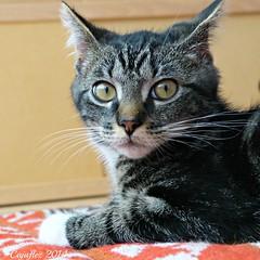 Totoro ( 3 month) (Cajaflez) Tags: cat pet kat kater katze chat gatto kitten huisdier totoro 3month notmycat coth5