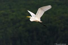 Grande aigrette/ great egret (pascaleforest) Tags: oiseau bird aigrette nature captourmente qubec vole flying fauna ornitho passion nikon rve dream egret
