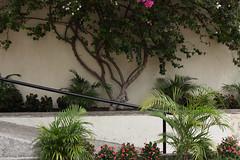 Jardin | Garden | Jardn (Eric Dupuis) Tags: eric dupuis ericdupuis ricdupuis photo photographie photography montreal quebec canada artiste artist photographe photographer artista foto fotografo fotografia agosto 2015 glise church glesia jardin jardn garden plants plantes matas bougainvillier bougainvillea buganvillas flordehavana fleurs flores flowers accs access mur wall pared manga entrada aot august