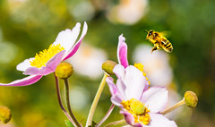 Golden flight (Steve-h) Tags: nature natura natur naturaleza insect bee flowers plants blossoms flight bokeh depthoffield colour colours purple pink orange green white summer august 2016 dublin ireland ef eos canon camera macro lens digital exposure wildlife steveh japaneseanemone