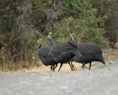 JDW_8969-1 (John.Walton) Tags: africa bird southafrica nikon wildlife sa d200 nationalparks easterncape guineafowl helmetedguineafowl sanparks mountainzebranationalpark southafricanationalparks