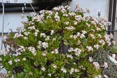 Crassula ovata (esta_ahi) Tags: barcelona espaa white flores spain flora plantas flor crassulaceae crassula ovata crasas crassulaovata  vilafrancadelpeneds cultivadas