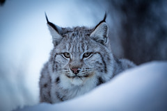 Overview (CecilieSonstebyPhotography) Tags: winter portrait snow closeup cat canon ngc lynx gaupe langedrag catfamily eurasianlynx ef70200mmf4lisusm