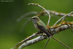 Female Calliope Hummingbird (Photography Through Tania's Eyes) Tags: canada bird nature animal fauna photography photo bill wings flora nikon branch photographer hummingbird bc image britishcolumbia wildlife feathers photograph lichen stellulacalliope westbridge copyrightimage femalecalliopehummingbird nikond7000 taniasimpson