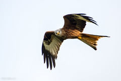 Red Kite (Milvus milvus) (BiteYourBum.Com -) Tags: park red kite station wales carmarthenshire feeding unitedkingdom 350 national pro brecon beacons runner canonef1740mmf4lusm aw redkite lowepro milvusmilvus llanddeusant dyfed canonefs60mmf28macrousm breconbeaconsnationalpark biteyourbum redkitefeedingstation canoneos7d dawnandjim canonspeedlite430exii sigma50500mmf4563dgoshsm biteyourbumcom welshredkitetrust llanddeusantredkitefeedingstation