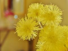 Voglia di luce... (fata_ci) Tags: macro giallo fiori mimose ysplix