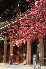 NODATE tea ceremony (tomosang R32m) Tags: japan shrine tea ceremony  cherryblossom sakura fukuoka  nodate    fukuma  miyaji   tsuyazaki miyajidake fukutsu     cerasuscerasoides