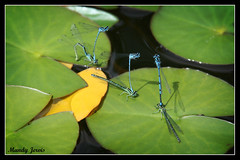 Dragonflies (Mandy Jervis Photography - Beady's World) Tags: blue lake nature insect pond lily dragonfly wildlife pair breeding mating british damselflies enallagma cyathigerum
