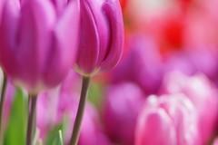 () /Tulipa gesneriana (nobuflickr) Tags: flower nature japan kyoto tulip   thekyotobotanicalgarden tulipagesneriana  persephonesgarden  20130228dsc00878