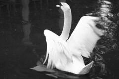 (Jacobo Canady) Tags: park parque espaa lake bird water lago swan sevilla andaluca spain agua seville andalucia cisne pjaro marialuisa parquedemaraluisa afotitos