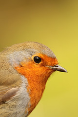Robin (Explore) (Dan van Orsouw) Tags: new wood england bird robin birds ferry canon woodland river photography eos kent woods grove britain wildlife united 14 watch great watching birding kingdom canterbury x 420 robins 300mm valley 7d 300 birders f4 birder alder watcher converter extender f40 stour stodmarsh 14x 420mm
