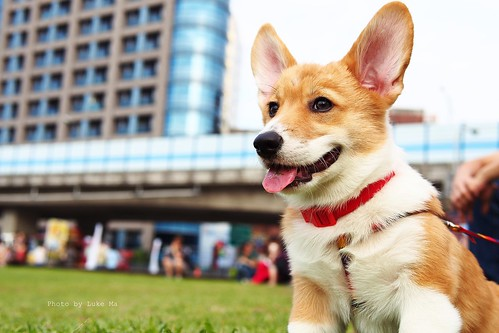 Welsh Corgi doggy, Taipei, Taiwan by Luke,Ma, on Flickr