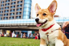 Welsh Corgi doggy, Taipei, Taiwan (Luke,Ma) Tags: china park leica city portrait dog cute dogs ecology beauty digital puppy four lumix hotdog corgi warm doll republic afternoon natural bokeh f14 14 creative taiwan olympus dachshund m panasonic f micro taipei doggy welsh    summilux asph dg 43 omd thirds 25mm        huashan   m43     em5 2514       flickraward 25mmf14 25mm14 25f14 flickrtravelaward