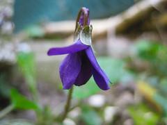 Violetta {78/365} (Lemon) Tags: flower primavera march violet fiore viola marzo aspettando violetta