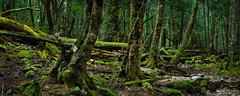 The Ballroom (Bruce_Hood) Tags: tree green rock forest moss nikon pano altitude australia panoramic tasmania lichen worldheritage d800 cradlemountain theballroom brucehood d800e