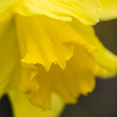 L'or du printemps (Mariette80) Tags: mars flower macro fleurs jaune jardin 100mm daffodil printemps jonquille