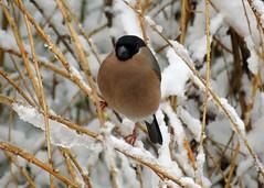 23Mar13 Bullfinch F2 (Daisy Waring World) Tags: bullfinch snowybranches