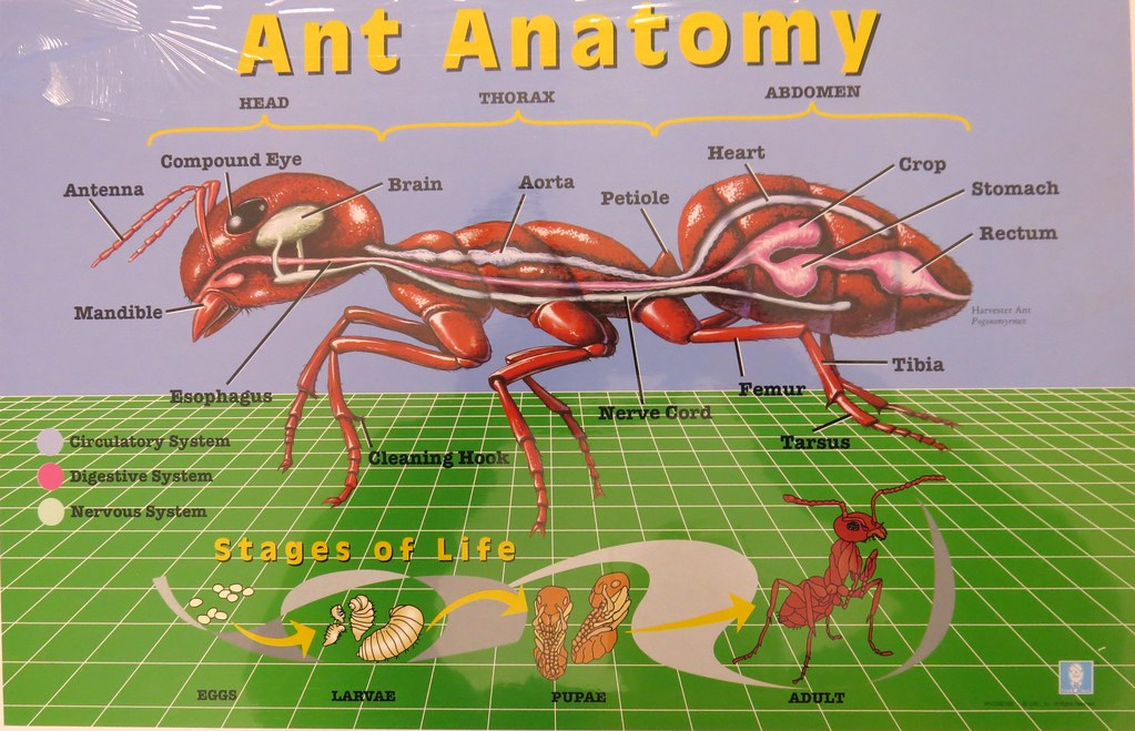 The World\'s Best Photos of anatomy and ant - Flickr Hive Mind