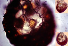 Spores (fillzees) Tags: fern nature flora micro botany spore microscopy spores taxonomy