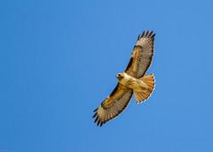 Red-tailed Hawk (Buteo jamaicensis): Head Dress (Johnrw1491) Tags: nature birds photography hawk wildlife flight feathers indians prey redtailed raptors soar buteo