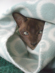 Wrap Kitty (cox-on-the-box - we have rain!) Tags: cute face catwomen tonkinese blanket