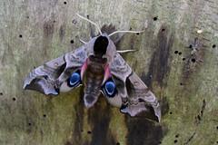 IMG_044 Smerinthus ocellata ♂ (Raiwen) Tags: germany europe moths sphingidae imago eyedhawkmoth smerinthusocellata abendpfauenauge smerinthinae sphingidaemundi synantrophicspecies