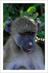Baboon Close-up (Nuwan Gomis) Tags: africa botswana kasane southernafrica africansafari animalportraits 2013 chobenp thewildlife canonefs55250is natureandphotography canoneos550d hennysanimals