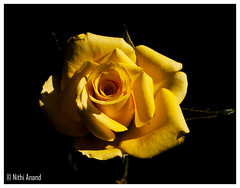 Beautiful yellow rose from my garden (Nithi clicks) Tags: flower color green art texture love nature floral beautiful leaves rose closeup illustration canon garden design symbol shaped decorative seasonal decoration marriage valentine romance passion romantic luxury vector raindrop flourish sympathy elegance passionate vitality canon500d