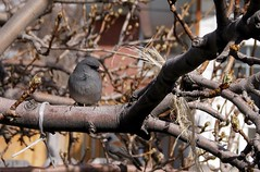Dark Eyed Junco (J R Webb) Tags: