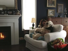 Dog Love on a snow day... (milikin) Tags: softcoatedwheatenterrier scwt
