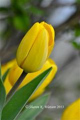 Donna's yellow tulips. (Idahoeyes) Tags: plant flower spring yellowflower idaho tulip april bulbous perennial tulipa liliaceae yellowtulip angiosperm nikond90 sharonwatson