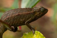 Chamaeleo ellioti (zimbart) Tags: africa fauna uganda lizards reptiles chameleons reptilia vertebrata rwenzori nyakalengija