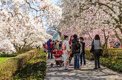 Crowds at the Magnolia Plaza (Diacritical) Tags: newyorkcity brooklyn iso100 spring magnolia f56 bbg brooklynbotanicgarden 70mm 2470mmf28 2013 nikond4 sec magnoliapavilion
