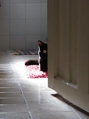 104/365 - 14/04/13 (oana-emilia) Tags: light cat blackcat kitten luna britishshorthair day104 day104365 3652013 365the2013edition 14apr13